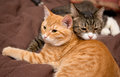 Friendship of the two cats striped orange and grey Stock Images