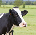 Friesian cow burgundy france Royalty Free Stock Images
