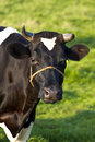Friesian dairy milch cow on field Royalty Free Stock Photo