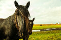 Friesian horse from denmark saw these horses next to the road near aalborg in Royalty Free Stock Photos