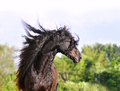 Friesian horse portrait with long mane the Stock Photography