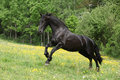 Friesian horse running in yellow flowers on pasturage summer Royalty Free Stock Images