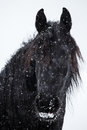 Friesian horse and snowfall black Stock Images