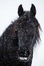 Friesian horse and snowfall Royalty Free Stock Photo