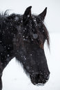 Friesian horse and snowfall black Royalty Free Stock Images
