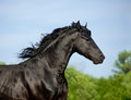 Friesian stallion close up in motion Royalty Free Stock Images