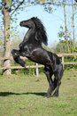 Friesian stallion prancing grass Royalty Free Stock Image