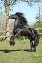 Friesian stallion prancing on pasturage in summer Stock Photography
