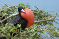 Frigate Bird Royalty Free Stock Photo