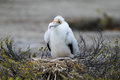 Frigate Bird Chick. Royalty Free Stock Photo
