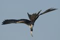Frigate bird fishing Stock Images