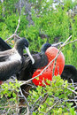 Frigate Birds Stock Photo