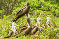 Frigate Birds Family Royalty Free Stock Photo