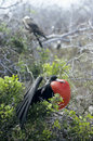 Frigatebird in Mating Display Royalty Free Stock Images