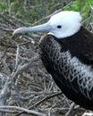 Frigatebird on nesting site in the Galapagos Archipelago Royalty Free Stock Photo