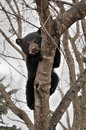 Frightened American Black Bear Cub Hangs in Tree Stock Photos
