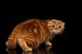 Frightened ginger scottish fold cat looking back isolated on black background Stock Images