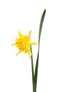 Frilly daffodil flower single yellow and leaf isolated against white Stock Images