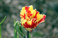 Frilly red and yellow tulip just beginning to bloom in springtime Royalty Free Stock Image