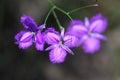 Purple Fringe Lilies Royalty Free Stock Photo