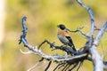 Fringilla montifringilla brambling a singing bird singing male Royalty Free Stock Photo