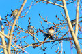 Fringilla montifringilla brambling wild bird in a natural habitat wildlife photography kandalakshsky reserve russia murmansk Stock Photos