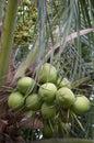 Frische grüne kokosnuss palme nahaufnahme Lizenzfreies Stockbild