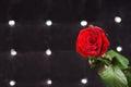 Frische rote rose in front sparkling black background Stockbild