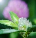 Frisches сlover blüht blüte mit tropfen des taus Stockfoto