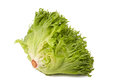 Frisee lettuce  green leaf isolated Royalty Free Stock Photo