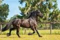 Frisian horse Royalty Free Stock Photo