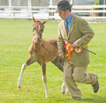 Frisky Foal at Black Isle Show. Royalty Free Stock Photo
