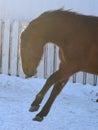 Frisky Horse Royalty Free Stock Photo