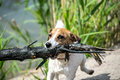 A frisky Jack Russell terrier running fast with a stick from a river Royalty Free Stock Photo