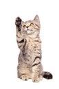 Frisky kitten Scottish Straight Royalty Free Stock Photo
