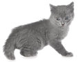 Frisky small kitten isolated Royalty Free Stock Photo