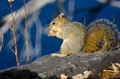 Frisky Squirrel Eating a Snack Royalty Free Stock Photo