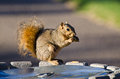Frisky squirrel eating a snack on trash can Stock Photography