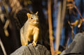 Frisky squirrel resting on a rock red Royalty Free Stock Images