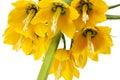 Fritillaria imperialis Royalty Free Stock Photography