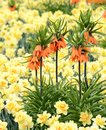 Fritillaria imperialis flower in a bed full of daffodils Stock Image