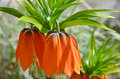 Fritillaria imperialis orange spring blossoming of flower Royalty Free Stock Image