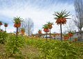 Fritillaria imperialis are in parterre of village Royalty Free Stock Images