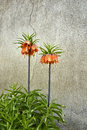 Fritillaria imperialis two in front of cracked wall Royalty Free Stock Photography