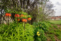 Fritillaria imperialis are in village nearest field Royalty Free Stock Photography