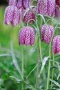 Fritillaria meleagris Royalty Free Stock Photography