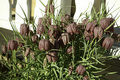 Fritillaria meleagris Stock Photos