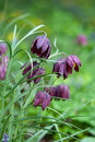 Fritillaria meleagris flowers Royalty Free Stock Image
