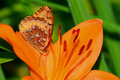 Fritillary on orange lily eastern butterfly sitting flower in the garden Stock Photo
