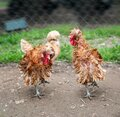 Frizzle chickens in a farm yard Royalty Free Stock Photo